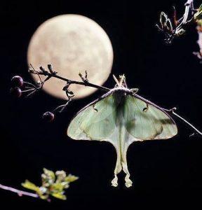 Actius luna (luna moth)
