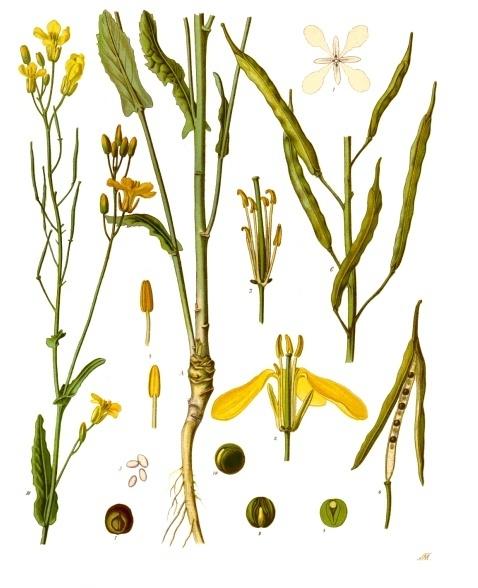 Rapeseed (Brassica napus) from Franz Eugen Köhler, Köhler's Medizinal-Pflanzen